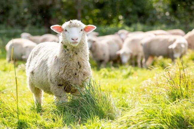 free range lamb | cuts of lamb | lamb cuts