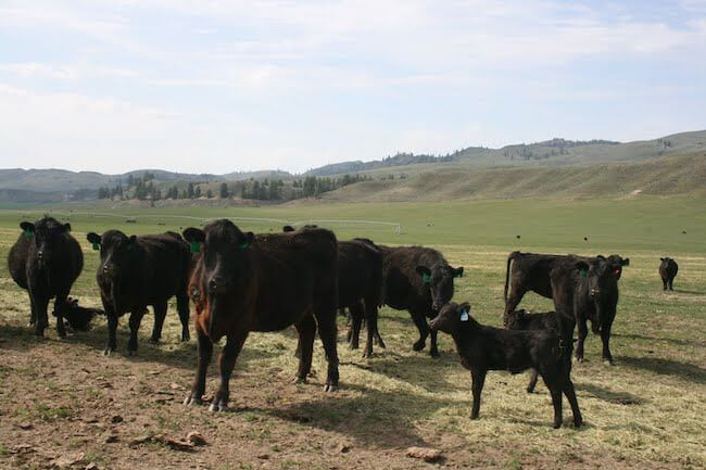 grass fed cattle | Questions to ask your butcher | What to ask the butcher